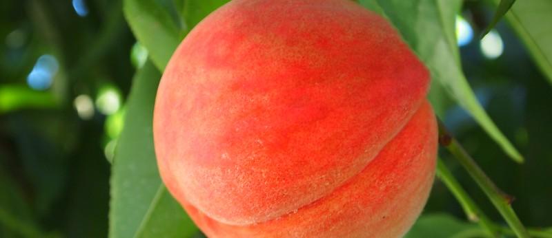 樹上で完熟させた桃