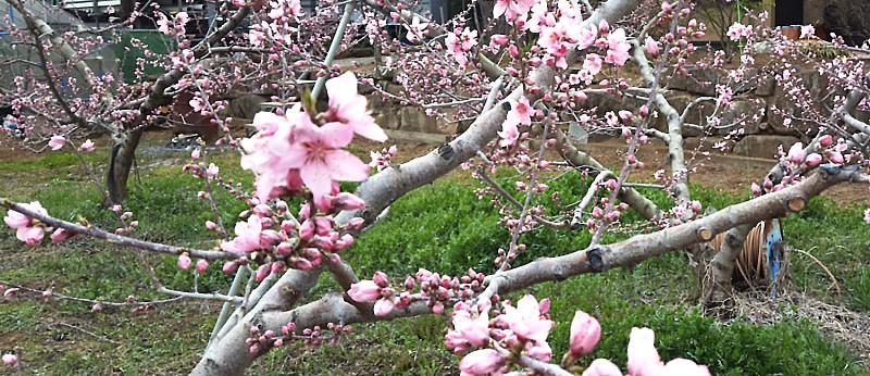 摘蕾前の桃の木